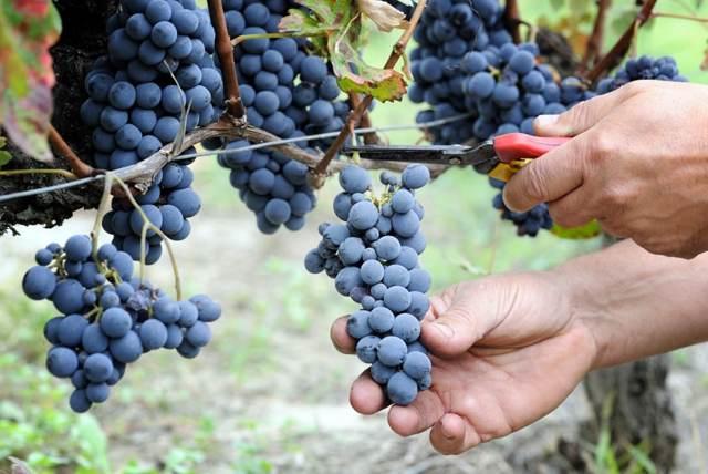 Сорт винограда Маркетт: описание, рекомендации по уходу и разведению