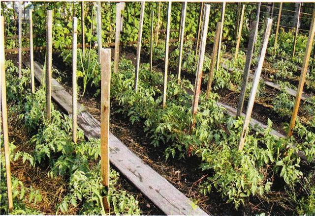 Секреты выращивания томатов, как вырастить хороший урожай в открытом грунте