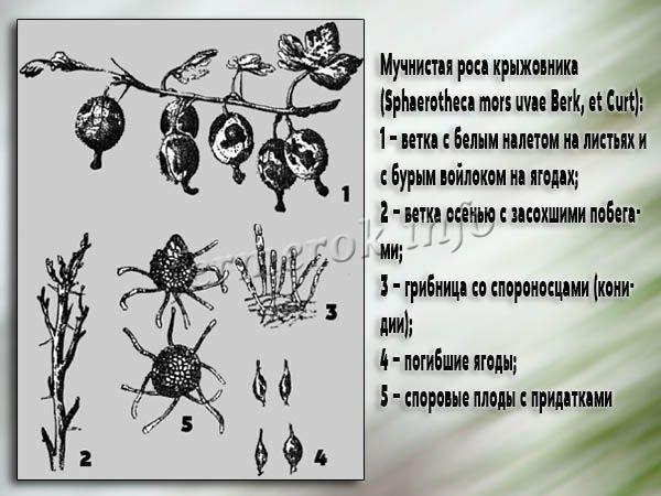 Обработка крыжовника весной от мучнистой росы: профилактика и лечение