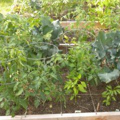 О подвязке помидоров в открытом грунте: как правильно подвязывать, инструкция