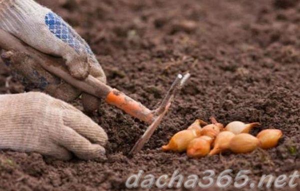 Все о сорте лука Бамбергер: посадка и уход, особенности выращивания