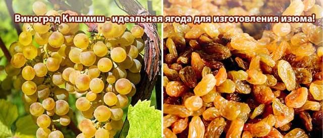 Распространенные сорта винограда Кишмиш: описание и причины популярности