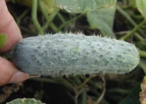 О партенокарпическом сорте огурцов: выращивание в открытом грунте и пар