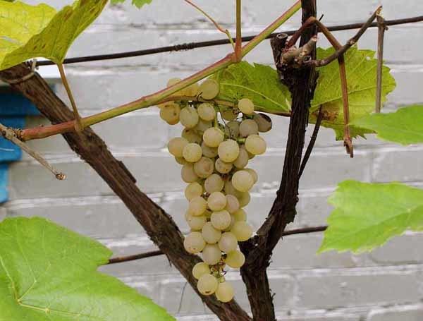 Описание сорта винограда Кристалл: основные особенности и морозостойкость