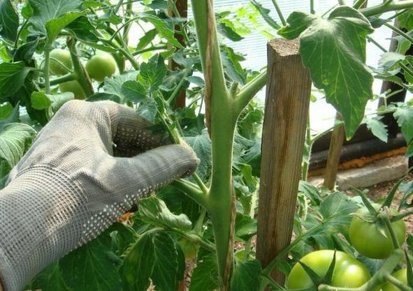 Алеша Попович: описание сорта томата, характеристики помидоров, посев