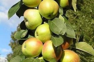 О колоновидной яблоне Икша: описание и характеристики сорта, посадка и уход