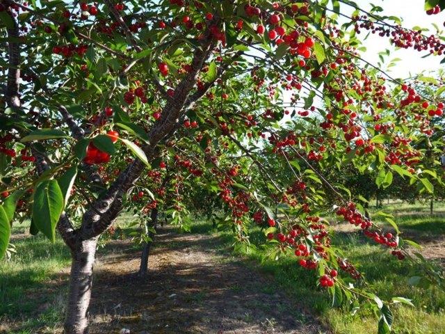 О дереве вишни: созревание, рост, цветение, описание, разновидности