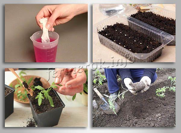 О томате Чудо Земли: описание сорта, характеристики помидоров, посев