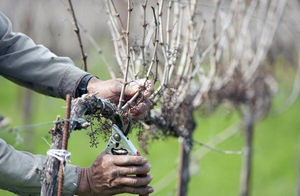 Описание сорта винограда Анюта, преимущества и недостатки, рекомендации виноградарей