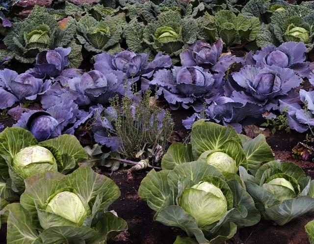 О капусте Леннокс: характеристика и описание сорта, способы выращивания