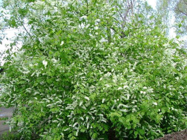 О гибриде вишни и черемухи (церепадус): как можно скрестить и привить