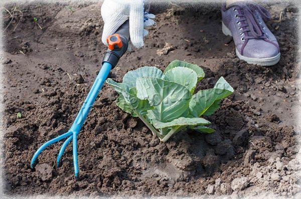 О капусте Сахарная голова: характеристика и описание сорта, выращивание