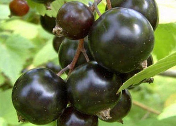 Смородина Валовая: описание и характеристики сорта, уход и выращивание