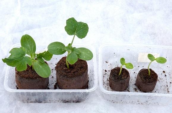 Все о подготовке семян арбуза к посадке на рассаду: проверка на всхожесть