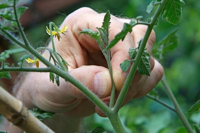 Розовые щечки: описание сорта томата, характеристики помидоров, посев