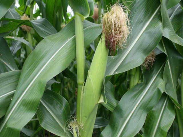 Когда сажать семена кукурузы в открытый грунт в Подмосковье, агротехника выращивания