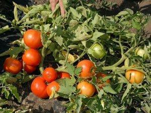 Бобкат: описание сорта томата, характеристики помидоров, выращивание