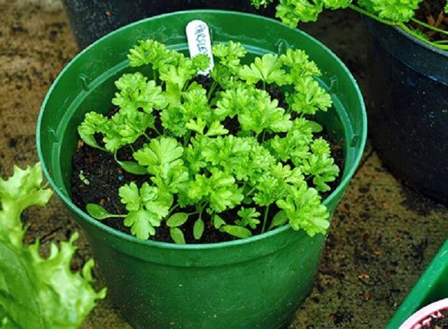 Выращивание и уход за лучшими сортами листовой петрушки: агротехника сортов