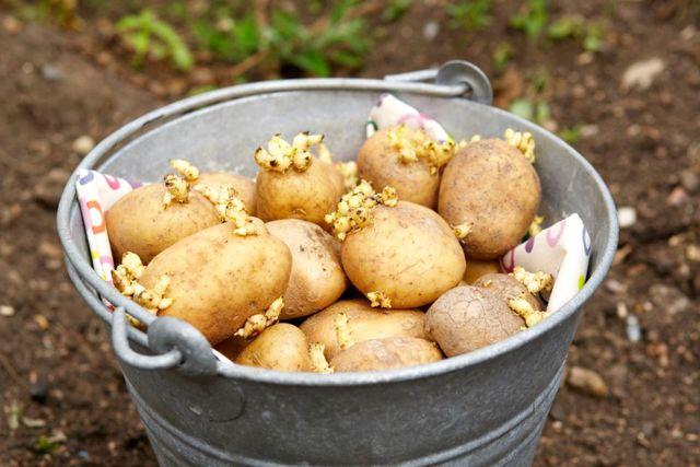 Сроки посадки картофеля в Подмосковье, как сажать картошку, время