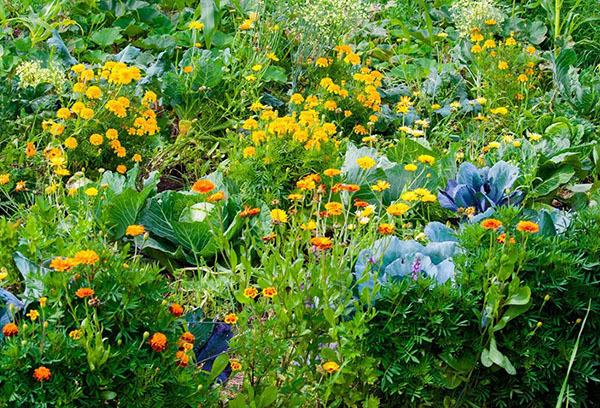 Что сажать рядом с капустой: с чем можно посадить капусту по соседству