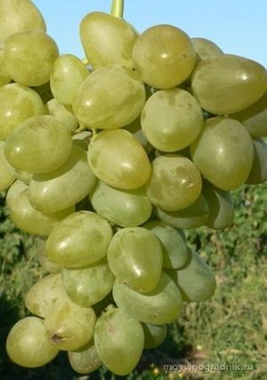 Описание сорта винограда Монарх, характеристики, преимущества и недостатки
