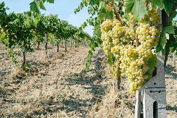 Описание венгерского сорта Кишмиш 342: от посадки до сбора винограда