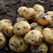 Ранний картофель: ультраранние и скороспелые сорта, описание и советы