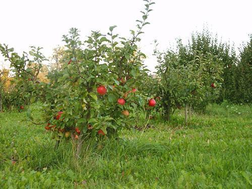 О яблоне Услада: описание сорта, характеристики, агротехника, как выращивать