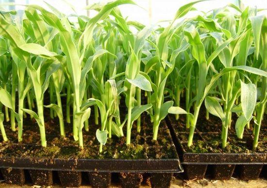 О посадке кукурузы на рассаду: как сеять семена в домашних условиях