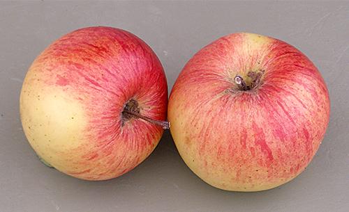 О яблоне Уэлси: описание сорта, характеристики, агротехника, выращивание
