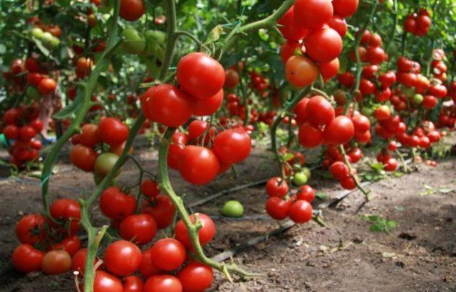 О томате Белый налив: описание и характеристики сорта, уход и выращивание