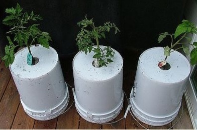 Все о выращивании томатов вверх ногами: посадка и выращивание вверх корнями