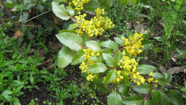 Куст магонии: особенности и характеристики, выращивание, размножение, уход