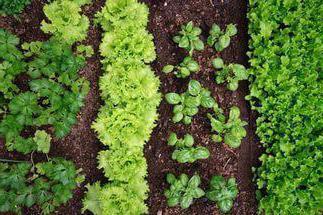 Что можно посадить рядом с кукурузой: совместимость растений, их хорошее соседство