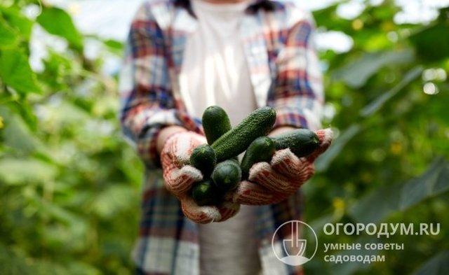Все о сорте огурца Барон: описание, агротехника выращивания и уход