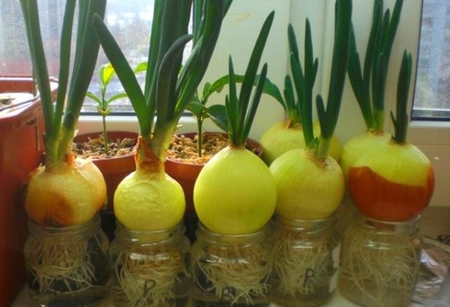 Все о посадке лука на зелень: выращивание в домашних условиях