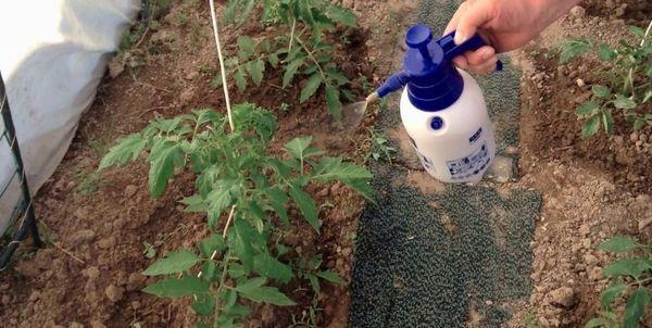 Персей: описание сорта томата, характеристики помидоров, выращивание