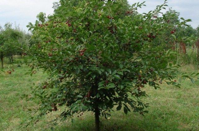 О вишне Ашинской: описание и характеристики сорта, уход и выращивание