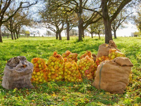 О яблоне коричной полосатой: описание и характеристики сорта, посадка и уход