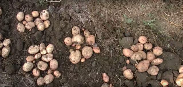 Как вырастить картофель с умом, как убирать, окучивать - агротехника