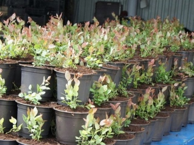 Садовая клюква: описание, особенности посадки, уход, выращивание