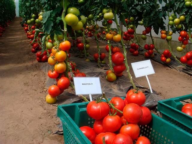 О томате Люкс: описание сорта, характеристики помидоров, агротехника