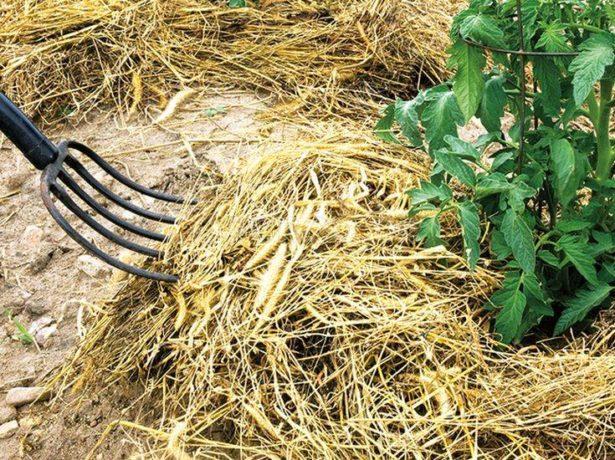 Свит черри: описание сорта томата, характеристики помидоров, посев