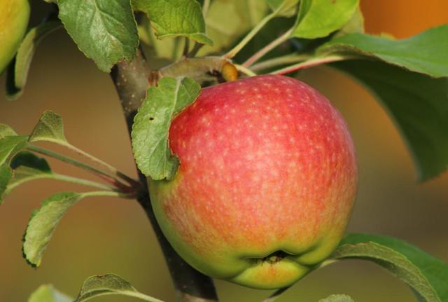 О яблоне Медуница: описание и характеристики сорта, посадка и уход