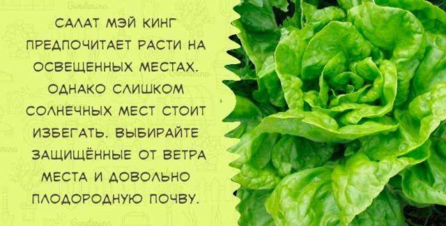 Все о выращивании салата Радичио: особенности посадки и ухода, советы садоводам