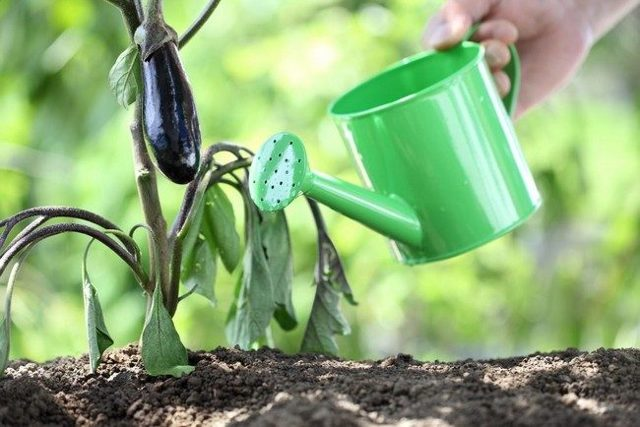 О выращивании и уходе в открытом грунте за баклажанами: правильная посадка, агротехника
