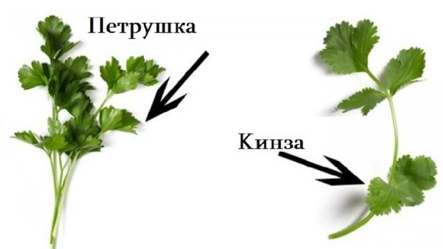 Все о кинзе: что это, чем отличается от петрушки, какие витамины в составе