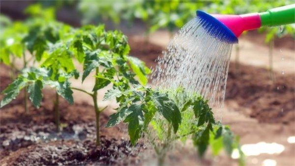 Иришка: описание сорта томата, характеристики помидоров, посев
