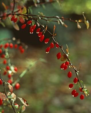 Список названий видов и лучших сортов барбариса, их описание