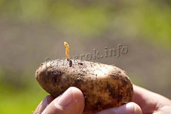 Гулливер: описание сорта картофеля, характеристики, агротехника